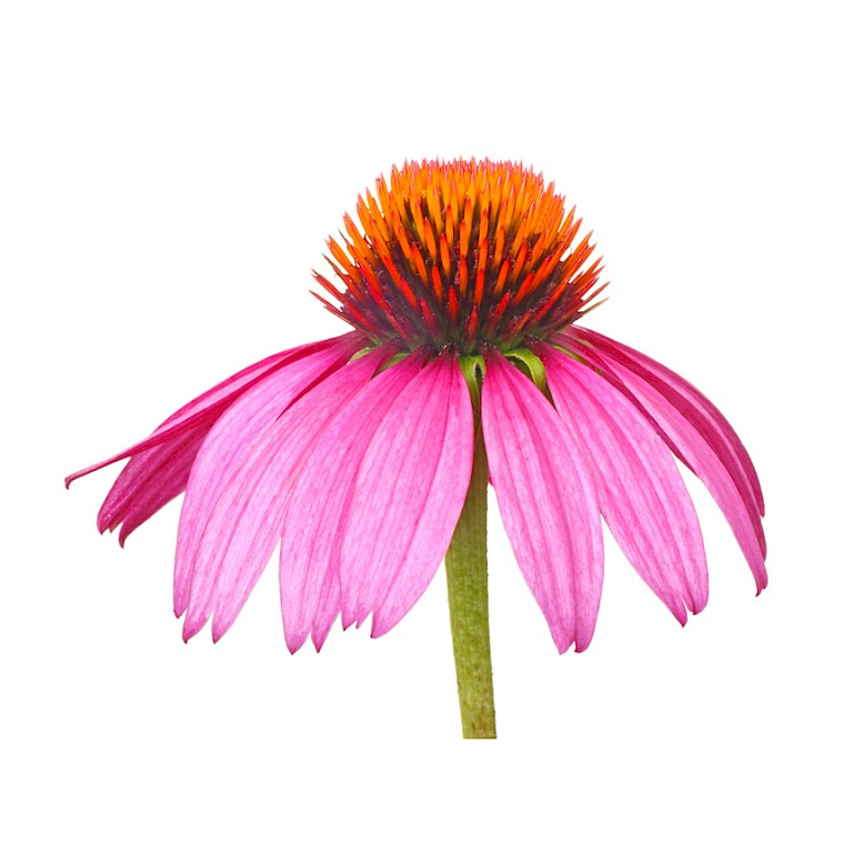 Echinacea herb dried press juice